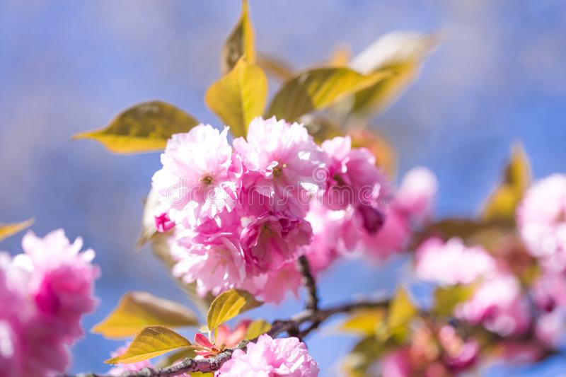 Sakura tree in blossom on blue sky. Cherry flowers blossoming in spring. Sakura blooming season concept. Nature, beauty, environme royalty free stock photos