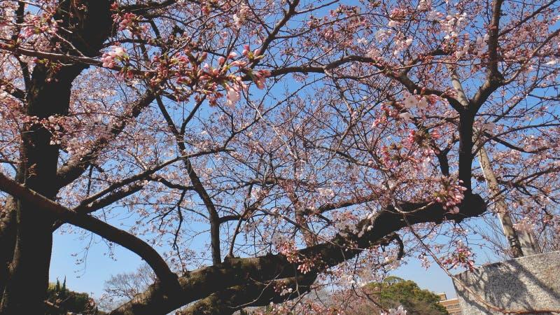 Sakura Tree em um parque foto de stock royalty free