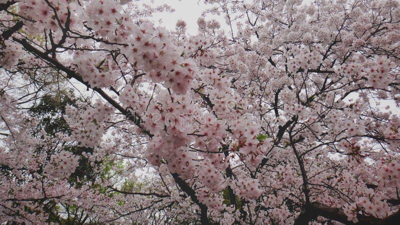 Sakura Tree róseo fotografia de stock
