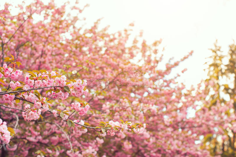 Sakura tree. Spring pink vibrant cherry blossoms branch close-up stock image