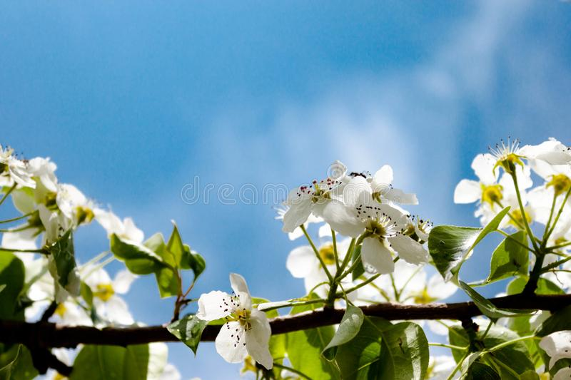 Sakura tree with white flowers on sky background. Easter spring concept. Soft focus. Text copy space stock image