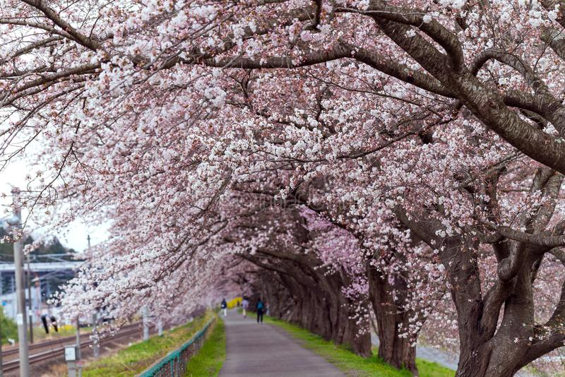 Sakura tunnel and walkway with japanese cherry blossom blooming royalty free stock images