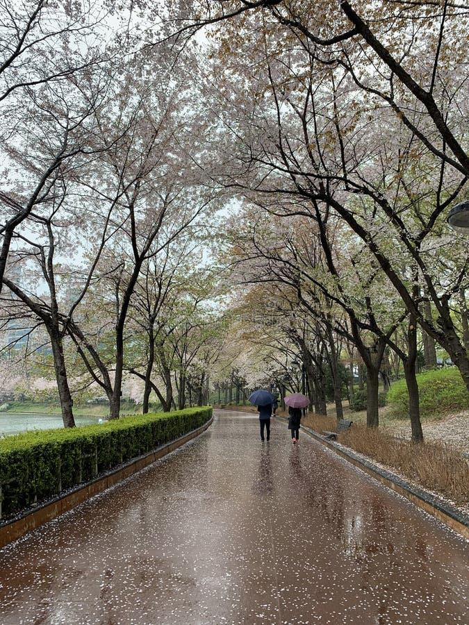 Sakura van de boomtunnel in Zuid-Korea stock afbeelding