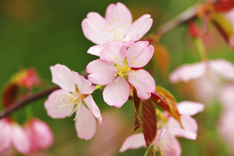Sakura van de lente royalty-vrije stock foto's