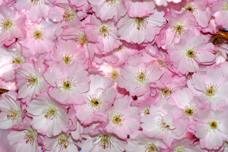 Sakura van Japan - bloemenachtergrond royalty-vrije stock foto's