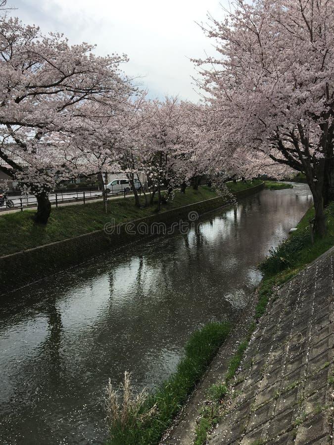 Sakura w Japan fotografia stock