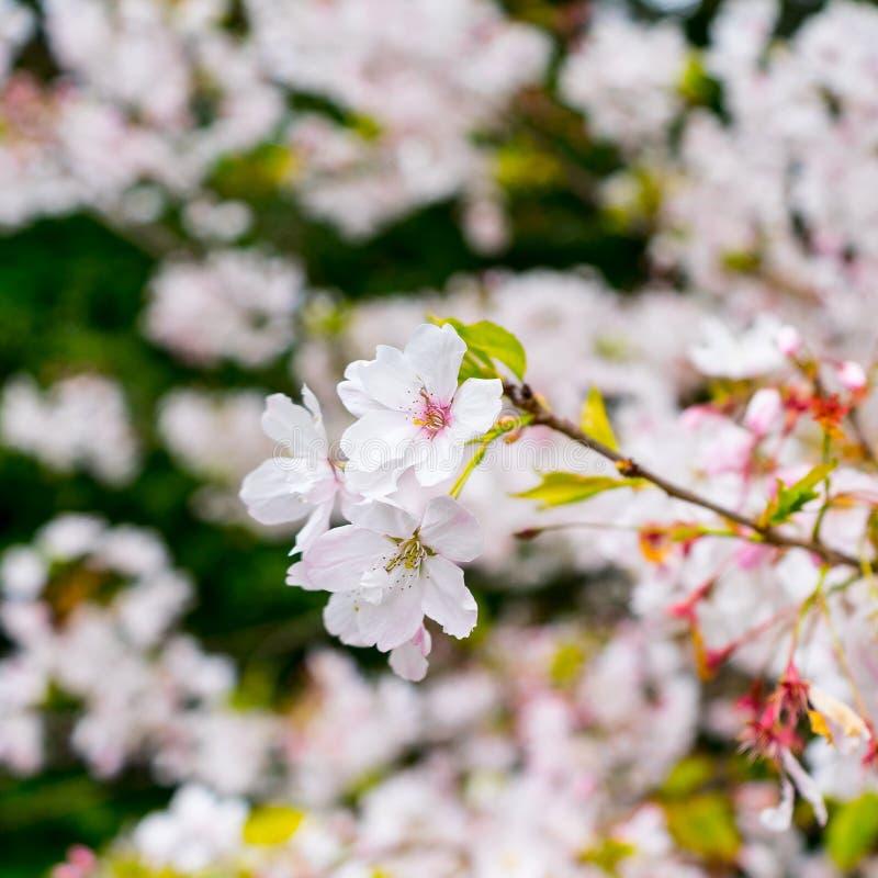Download Sakura stock image. Image of blossoming, cherry, pink - 41383133