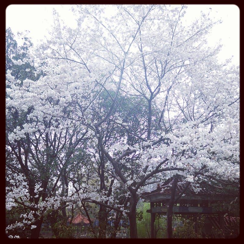 sakura in whu stock afbeeldingen