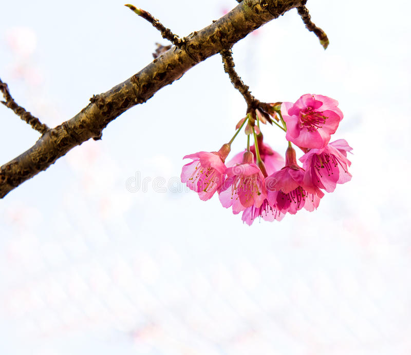 Sakura wiśni i kwiatu bossom w ogródzie obrazy stock