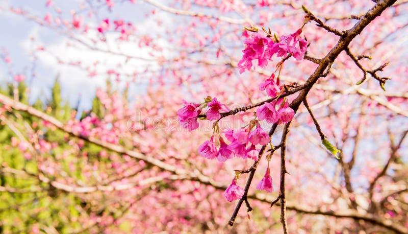 Sakura wiśni i kwiatu bossom w ogródzie zdjęcie royalty free