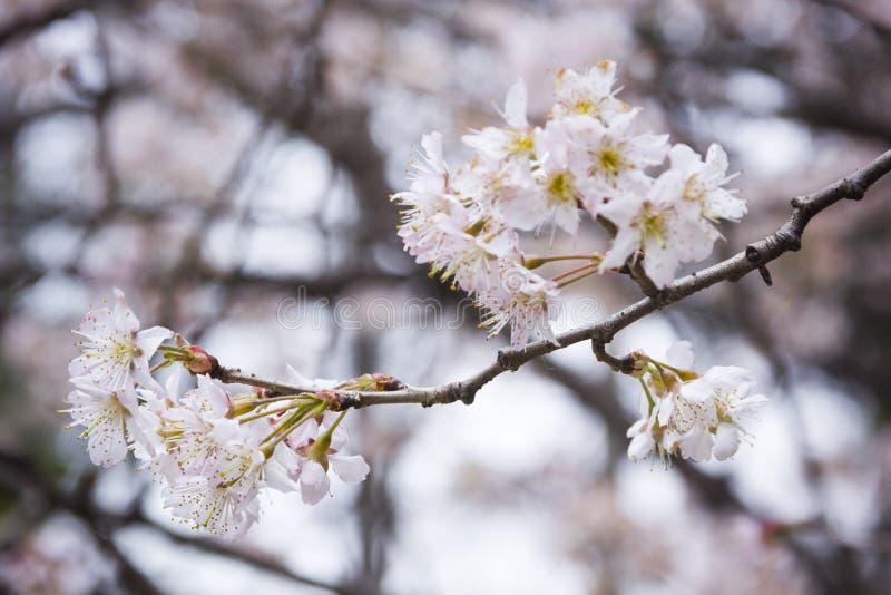 Download Sakura From Wuhan University Stock Image - Image of flower, natural: 39511117