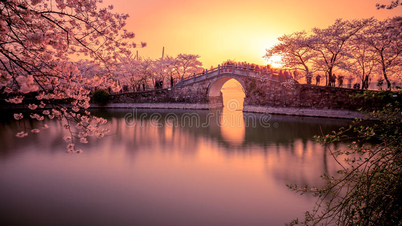 Sakura y puente foto de archivo