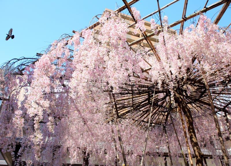 Sakura z stojakiem obrazy royalty free