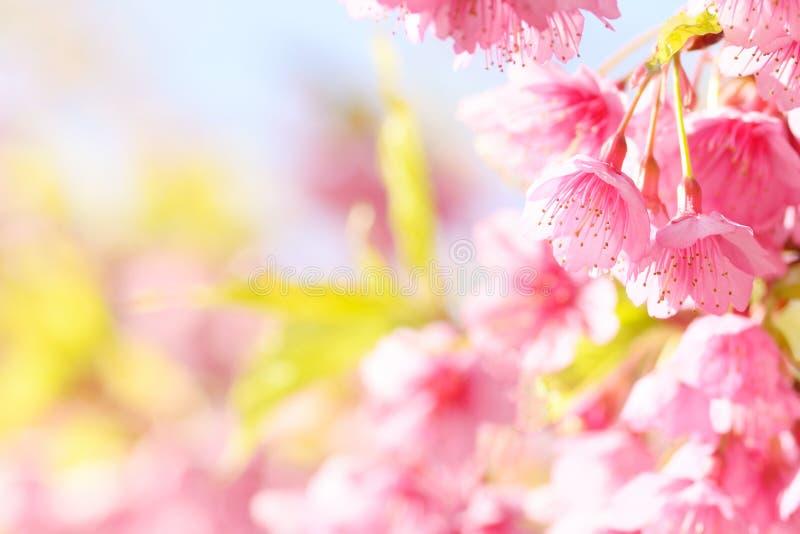 Sakurabloem stock afbeelding