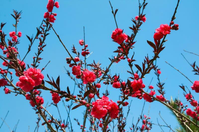 Sakurabloesems stock foto's