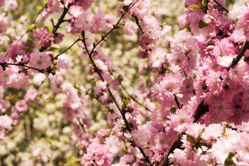 Sakurakleur onder het toenemende zon zingen stock foto