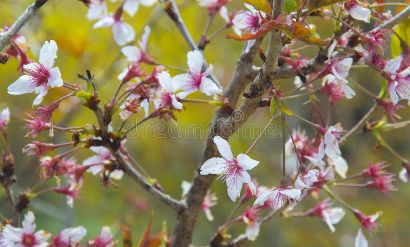 Sakuras flower stock image