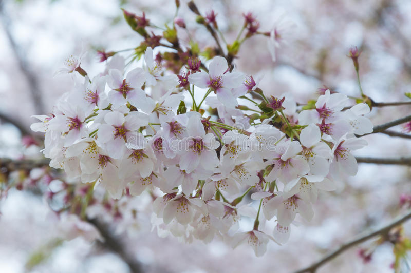 Sakuras flower stock images