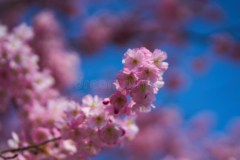 Sakuras w okwitnięciu fotografia royalty free