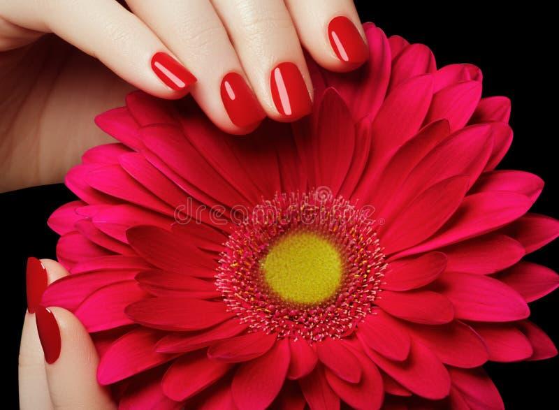 Salão de beleza de beleza Mãos delicadas com o tratamento de mãos que guarda a flor cor-de-rosa fotografia de stock