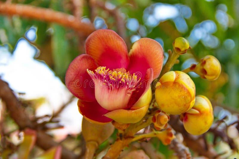 Sal kwiaty, działo piłki drzewo obraz stock