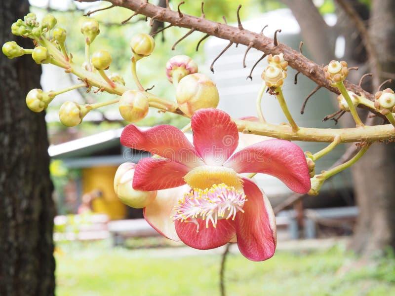 sal Salträd Sal av Indien, slut upp den härliga blomman cannonball royaltyfria foton