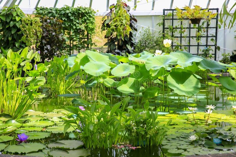 Sala caloroso completa de flores de lótus bonitas Wellington Botanic imagens de stock royalty free