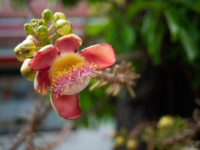 Sala flora eller den robusta blomman f?r Shorea p? Cannonballtr?d och saltr?det v?rdas av m?nga buddistisk m?nniskor v?rlden runt arkivfoto