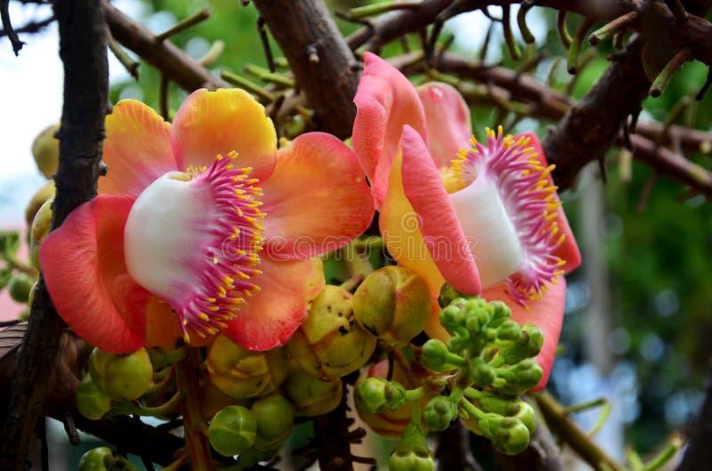 Sala flora eller robusta blomma för Shorea på Cannonballträd royaltyfri foto