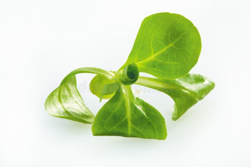 Download Salad stock image. Image of agriculture, korn, corn, fresh - 14861531