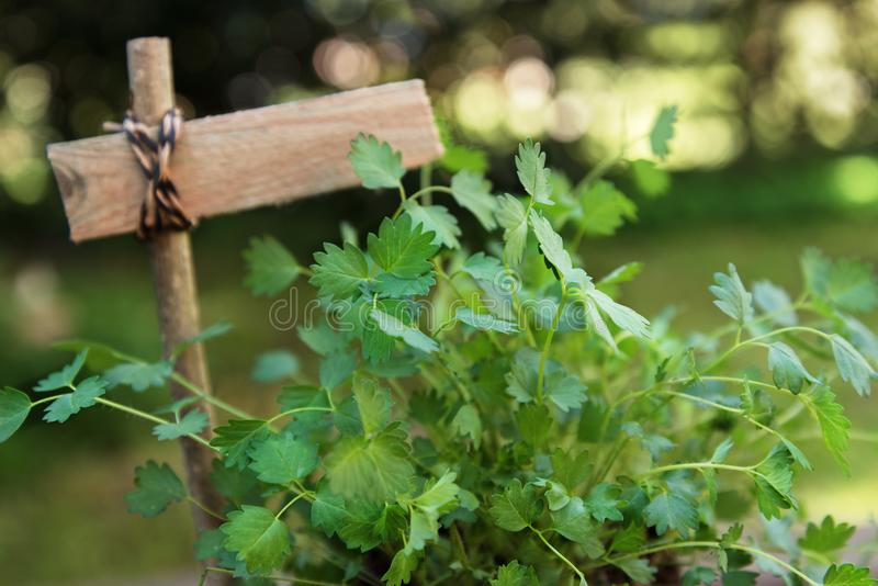 Salad burnet Sanguisorba minor with a blank plant marker in th. E garden, copy space, selected focus, narrow depth of field stock image