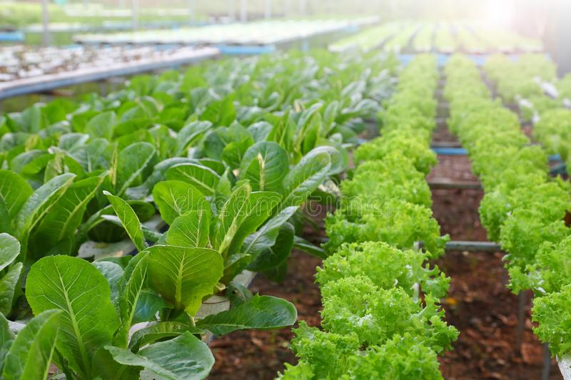 Salad crop feed in hydroponics system farm for agriculture and vegetarian concept. Salad crop feed in hydroponics system in the garden for agriculture and royalty free stock photos