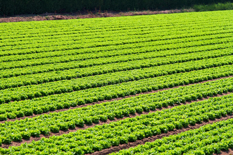 Download Salad field rows stock image. Image of agriculture, vegetable - 23489669
