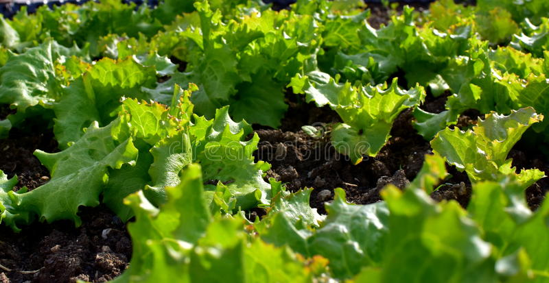 Salad in the garden royalty free stock photo