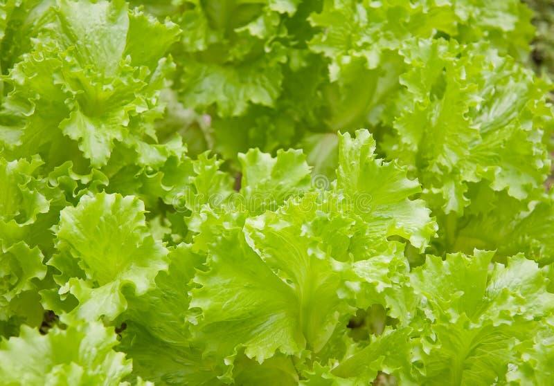 Salada Da Alface Foto De Stock Grátis