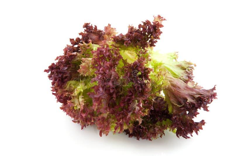 Salada de Lollo Rosso imagem de stock