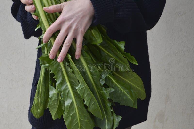 Salada fresca de Cicoria Catalogna da chicória foto de stock royalty free