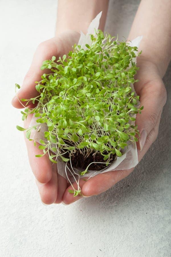 Salada micro-verde orgânica nas mãos, close-up O conceito de uma dieta saudável de um jardim fresco cresce organicamente como um  fotografia de stock royalty free