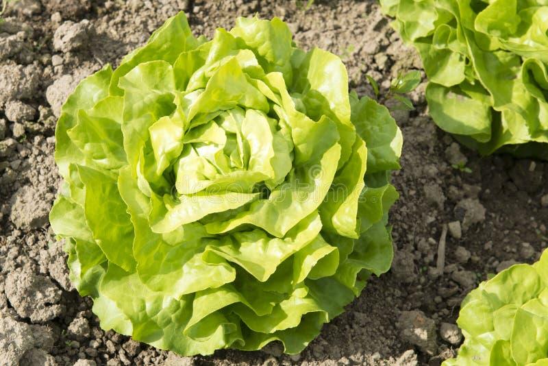Salada principal verde fotografia de stock royalty free