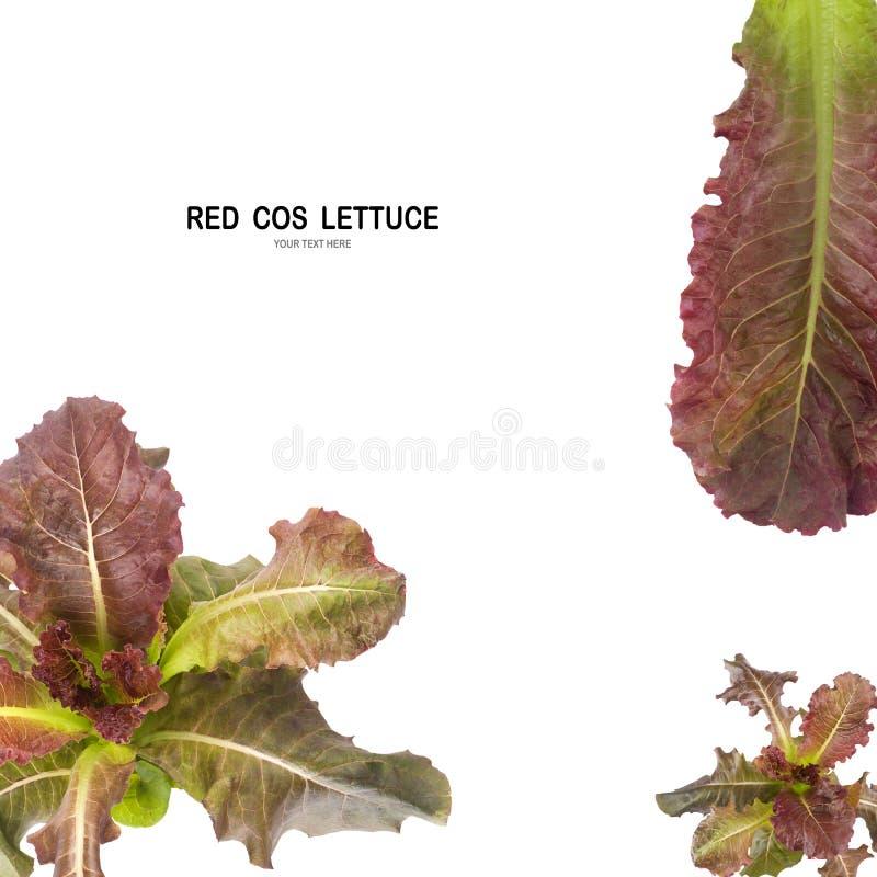 Salada VERMELHA da folha de COS isolada no fundo branco fotografia de stock royalty free