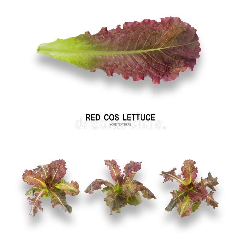 Salada VERMELHA da folha de COS isolada no fundo branco imagens de stock royalty free
