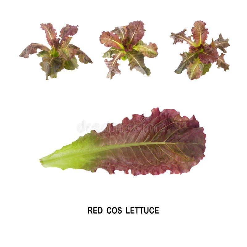 Salada VERMELHA da folha de COS isolada no fundo branco fotos de stock royalty free
