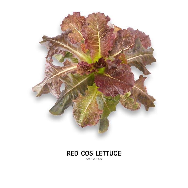 Salada VERMELHA da folha de COS isolada no fundo branco fotos de stock