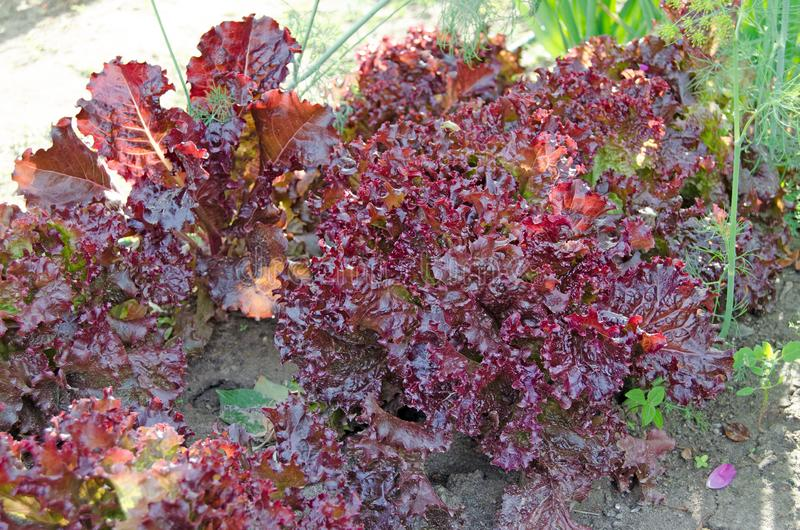 Salada vermelha da folha no jardim fotografia de stock royalty free