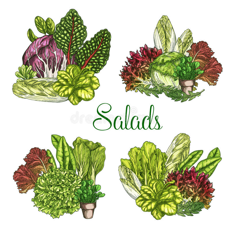 Saladas da exploração agrícola do vetor ou vegetais frondosos da alface ilustração do vetor