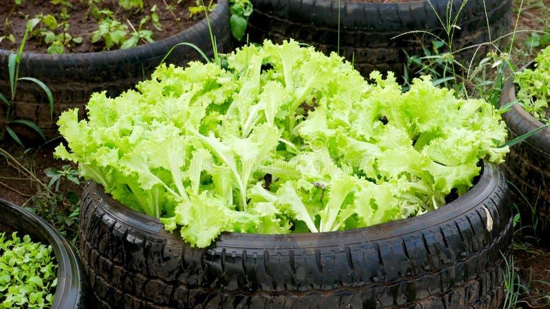 Salade in de autowielen royalty-vrije stock afbeelding