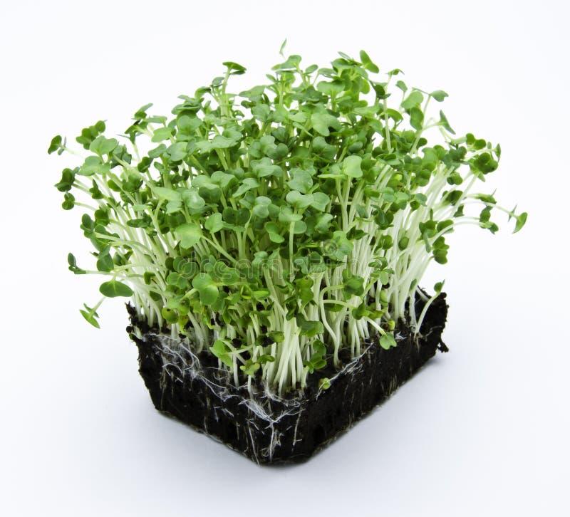 Salade de cresson photo stock