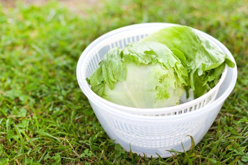 Salade de laitue dans le fileur image stock