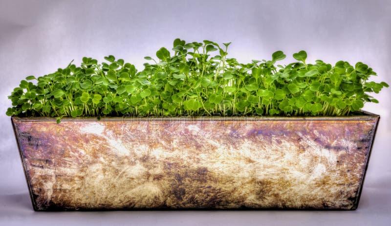 Salade de Ruccola photo stock