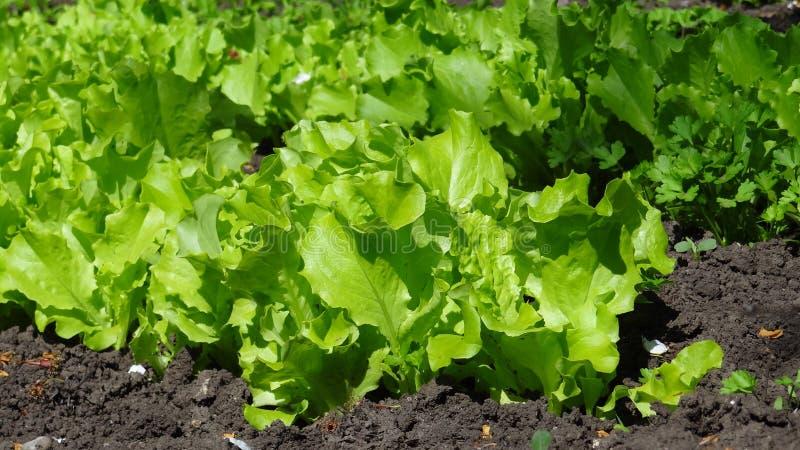 Salade du jardin photo libre de droits